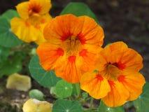 与红色斑点的另一朵橙色花 库存图片