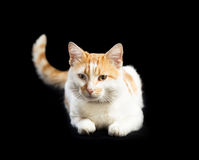 与红色斑点的猫白色,被上升的尾巴,说谎 免版税图库摄影