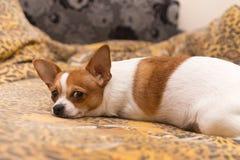 与红色斑点的白色狗 免版税库存图片