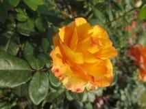 与红色斑点的黄色玫瑰在庭院里 免版税库存图片