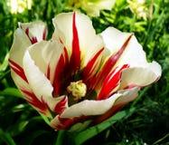 与红色条纹的白色郁金香 免版税库存图片