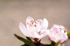 与红色毅力和红色花萼的白色杏子花 免版税图库摄影
