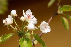 与红色毅力和黄色花萼的白色杏子花 库存图片