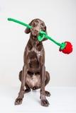 与红色玫瑰的Vizsla狗 库存照片