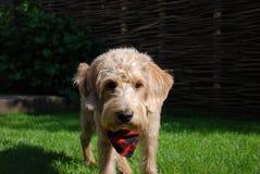 与红色班丹纳花绸的白肤金发的狗 库存图片