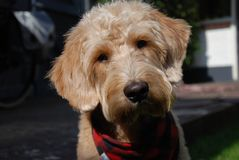 与红色班丹纳花绸的白肤金发的狗 免版税库存照片