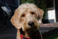 与红色班丹纳花绸的白肤金发的狗 免版税图库摄影