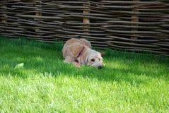 与红色班丹纳花绸的白肤金发的狗 图库摄影