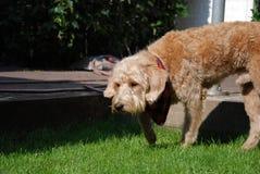 与红色班丹纳花绸的白肤金发的狗 免版税库存图片