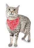 与红色班丹纳花绸的逗人喜爱的猫 免版税图库摄影