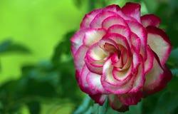 与红色瓣的一朵大白色玫瑰花渐近 库存图片