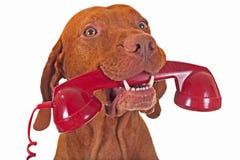 与红色电话的狗 免版税图库摄影