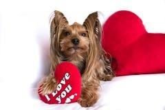 与红色的一条逗人喜爱的恋人华伦泰约克夏狗男孩狗听见 免版税图库摄影