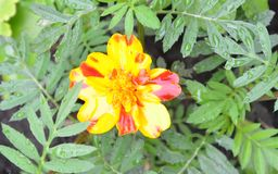与红色的小黄色在与雨的草下降 库存照片
