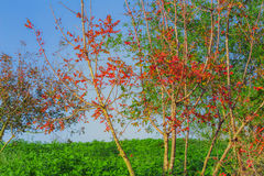 与红色的树在一个绿色领域离开 免版税图库摄影