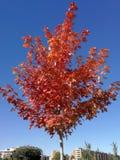 与红色的槭树在光芒四射的蓝天离开 免版税库存图片