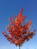 与红色的槭树在光芒四射的蓝天离开 库存照片