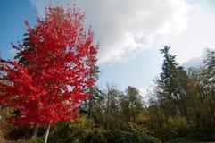 与红色的槭树在树前排离开与绿色叶子 免版税库存图片
