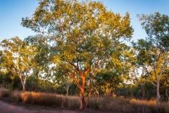 与红色皮肤澳大利亚产树胶之树的风景 免版税库存图片