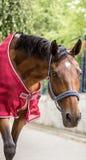 与红色盖子的美丽的棕色马画象 库存照片