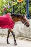 与红色盖子走的美丽的棕色马 免版税库存照片