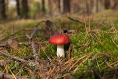 与红色盖帽的蘑菇 免版税库存图片