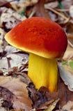 与红色盖帽的黄色蘑菇 免版税库存图片