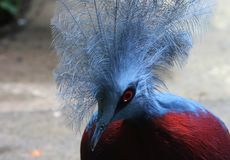 与红色眼睛的一只俏丽的鸟 库存照片