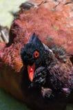 与红色眼睛的母鸡 库存图片