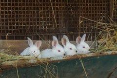 与红色眼睛的白色兔子在一只老笼子 图库摄影
