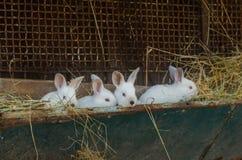 与红色眼睛的白色兔子在一只老笼子 库存照片