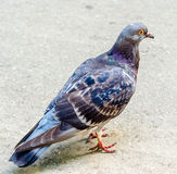 与红色眼睛的色的鸽子 免版税库存照片