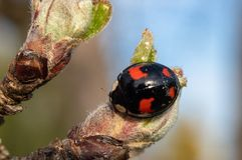 与红色细节的黑瓢虫 免版税图库摄影