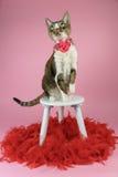 与红色羽毛的猫 免版税图库摄影