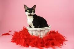 与红色羽毛的猫 免版税库存照片