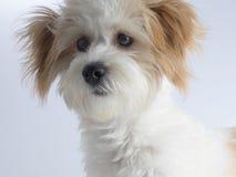 与红色耳朵的逗人喜爱的传神白色混杂的品种狗 免版税库存图片