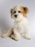 与红色耳朵的逗人喜爱的白色混杂的品种狗 库存图片