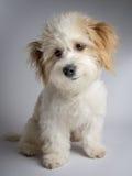 与红色耳朵的逗人喜爱的白色混杂的品种狗 图库摄影