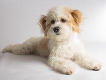 与红色耳朵的逗人喜爱的白色混杂的品种狗 免版税库存图片