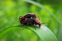 与红色臭虫的黑色在绿草 图库摄影