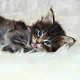 与红色舌头蓝眼睛的小缅因浣熊小猫 免版税库存图片