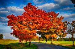 与红色色的叶子和柏油路的槭树在秋天/秋天daylightl 免版税库存照片