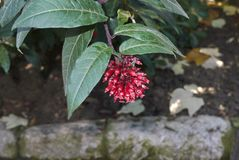 与红色花的动情期灌木 图库摄影