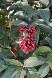 与红色花的动情期灌木 库存图片