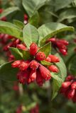 与红色花的动情期灌木 免版税库存照片