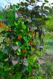 与红色花的开花的豆 免版税库存图片