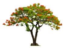 与红色花的皇家Poinciana树 免版税库存照片