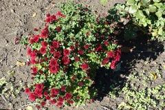 与红色花的菊花灌木在10月 免版税库存照片
