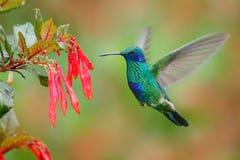 与红色花的蜂鸟 绿色和蓝色在美好的红色绽放旁边的蜂鸟闪耀的Violetear飞行 野生生物场面fr 免版税图库摄影