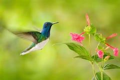 与红色花的鸟 蜂鸟白收缩的Jacobin,飞行在美丽的红色花旁边有绿色森林背景, Tandayap 图库摄影